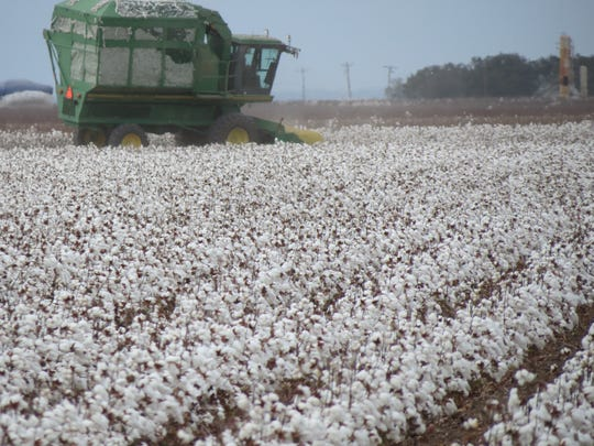 A cotton stripper begins harvest on the Dusek farm
