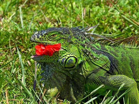"""Steve Rimar of Estero writes: """"A green Iguana eating a red hibiscus flower. The iguana was captured in Fort Myers and is a wild iguana not a pet."""""""