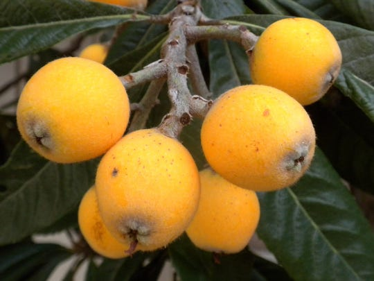 The sweet tart flavor of the Loquat is like a cross