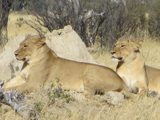 "Lions are among the ""Big Five""  animals safari-goers"