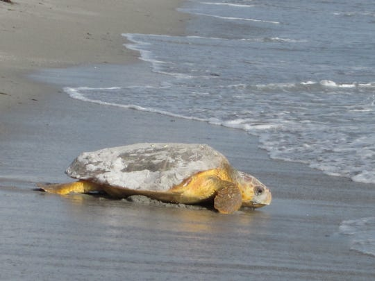 An adult female loggerhead sea turtle makes her way back into the ocean after laying her eggs.
