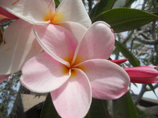 Delicate pale pink plumeria