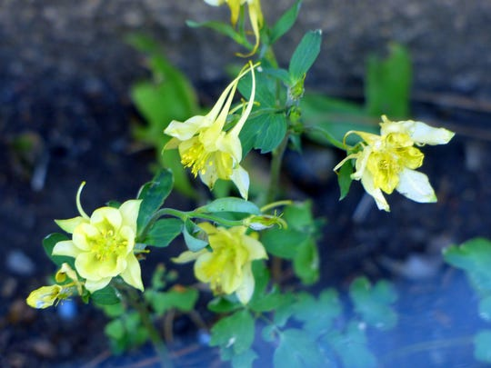 Delicate but hardy, these yellow flowers survived a hail storm.