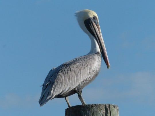 A brown pelican. Photo taken in Florida.