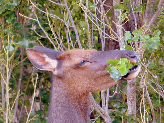 A cow elk munches the branches of a poplar tree.