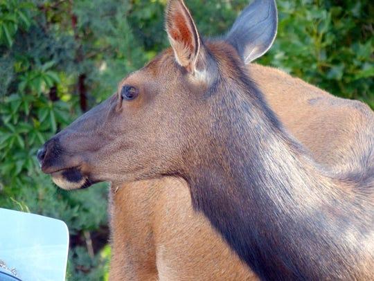 A female elk stands watch.