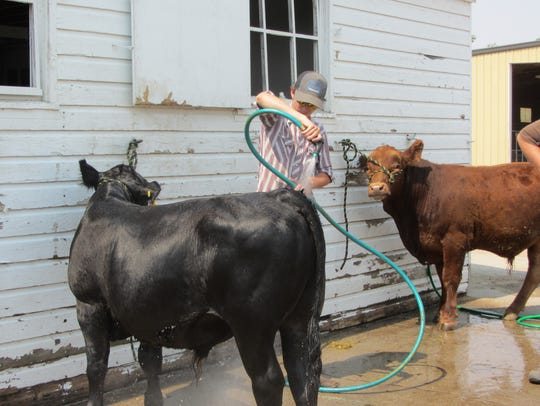Award-winning livestock abounds in the 4-H buildings throughout the fairgrounds during Montana State Fair.