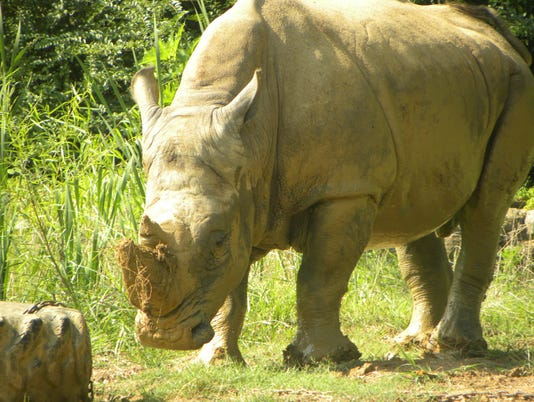 Ronnie the rhinoceros