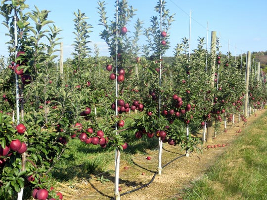 Melick's Town Farm is the largest apple grower in the