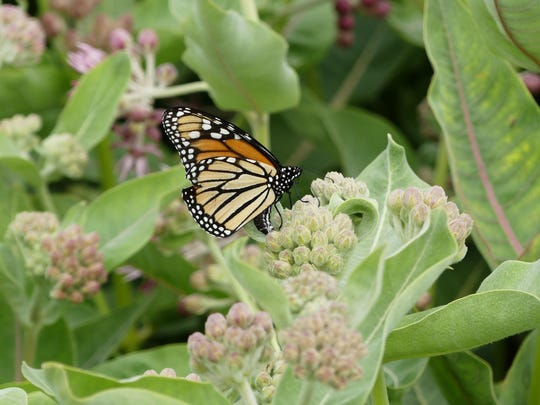 A female Monarch butterfly lays eggs on showy milkweed.