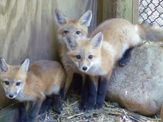 Three of the four red fox kits rehabilitated by the