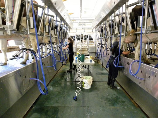 CREAM students Carly Bristol, left, and Ysabell Estevan milk cows at UVM's Miller Research Farm.