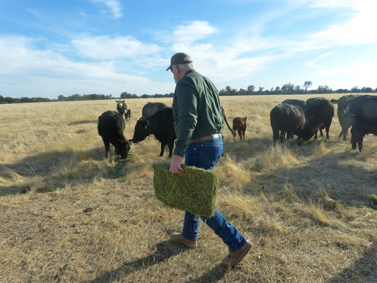 Dave Ault brings a bale of hay to his cattle at Stillwater
