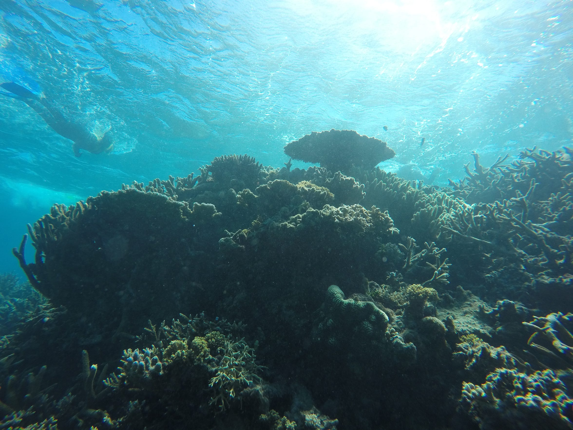 A snorkeler explores the corals on the Great Barrier