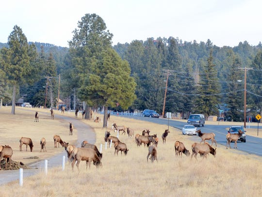 A herd of elk congregated Friday at Cree Meadows Golf Course and Country Club Drive. Elk appear to have supplanted bear and deer as the favorite sighting for tourists.