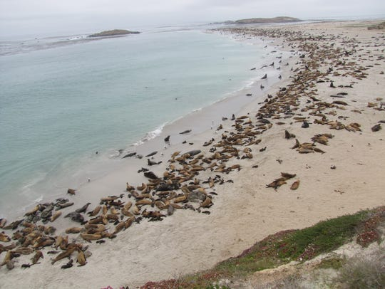 Thousands of California sea lions gather on the beaches