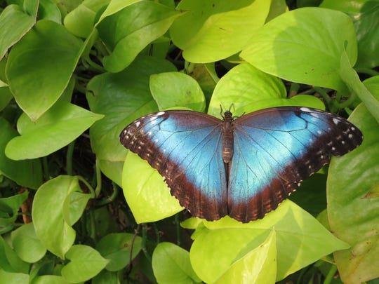 A butterfly rests on lush greenery at the Niagara Parks Butterfly Conservatory in Ontario, Canada.