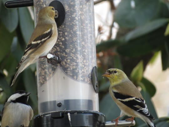 Two gold finches, tiny birds that can be hard to spot,