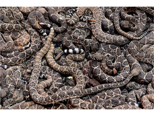 Western diamondback rattlesnakes slide past each other as they cluster in one of the pits at the World's Largest Rattlesnake Roundup in Sweetwater in March 2018.