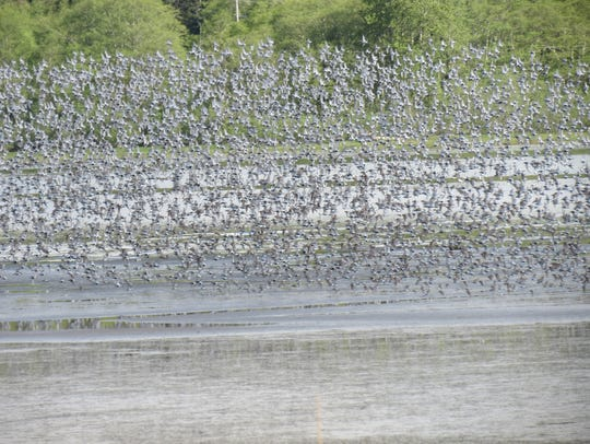 A large number of shorebirds are readily visible from