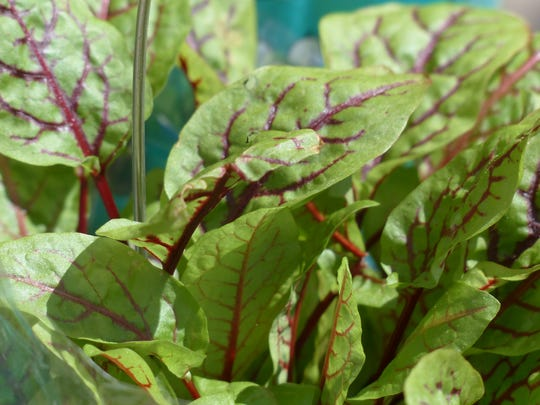 Bloody sorrel commonly refers to red-veined varieties of this perennial lettuce-like green or herb. Amy Mullen grows sorrel in her Irvington garden for its tangy lemony flavor.