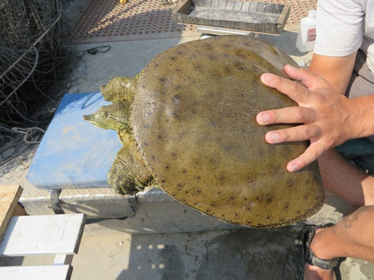 Spiny softshell turtles were captured as part of study
