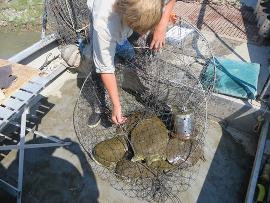 In a 10-mile section of the Missouri River 250 females spiny softshell turtles and 180 males were captured.