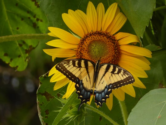 Sunflower and butterfly taken in my Yonkers garden.