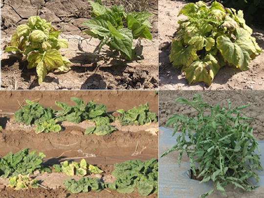 Examples of beet curly top virus on bean and pumpkin plants