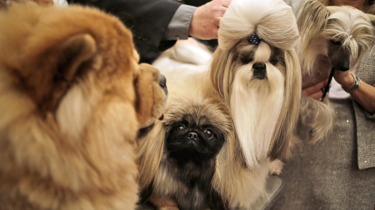 3,200 dogs set to strut at Westminster show
