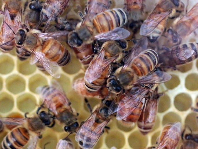 A close up of honeybees checking out their new home that will be on display at the Above and Beyond Museum Wednesday August 6, 2014 in Sheboygan.