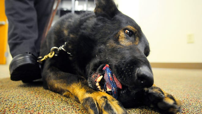 K-9 unit dog, Kato, chews on his chew toy on Thursday, Oct. 22, after picking up on a scent during a practice drill at the Waite Park Police Department. Kato officially retired Jan. 11, 2015.