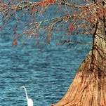 A white heron rests under a cypress tree at Cross Lake. The lake has been closed to boat traffic due to high water.