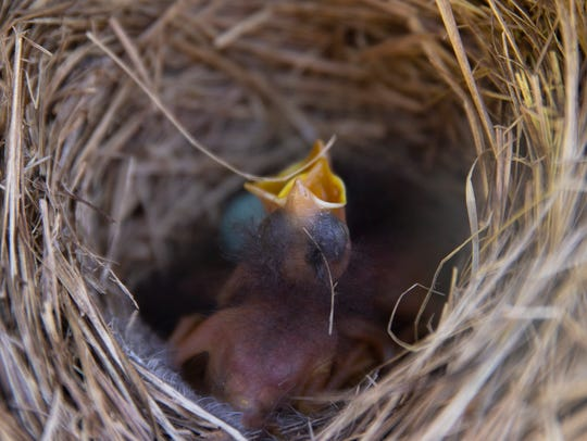 Baby Bluebirds chirp away in one of several Bluebird