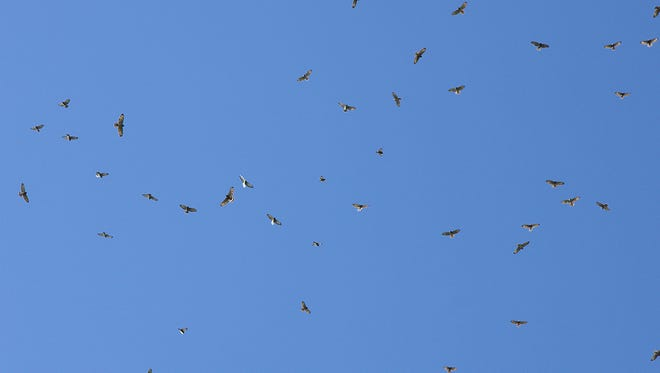 A kettle of broad-winged hawks soars above Grandfather Mountain during a previous Hawk Watch. Last year, 10,615 broad-winged hawks were officially counted from atop Grandfather's Linville Peak. Photo by Jesse Pope | Grandfather Mountain Stewardship Foundation