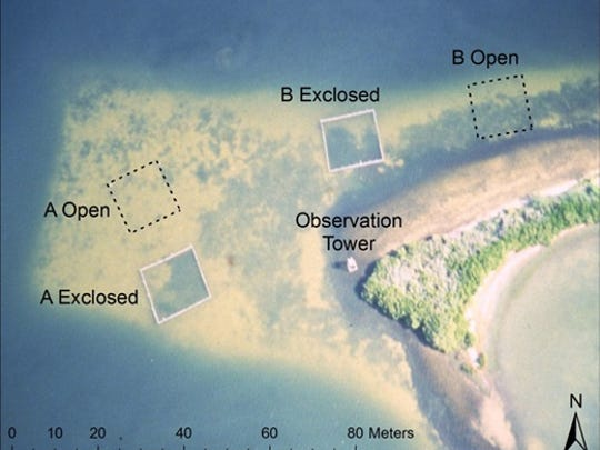 This August 1992 shot shows locations of saeagrass exclosures, open plots and an observation tower within the study site in Banana River at the Kennedy Space Center. The photograph was taken the second year of the study. Area A (including plots A Open and A Exclosed) was the 'shelf' to the west of the observation tower; Area B (including plots B Open and B Exclosed) extended to the north and east of the observation tower (photo credit: authors). (b) Sampling design for determination of species composition in the 4 study plots. The ends of 5 transects were permanently marked (T1−T5). In each of 12 sample periods, the numbers of subquadrats occupied by Syringodium filiforme and Halodule wrightii were counted in every other 1 m2 quadrat (shown in gray) on the right of each transect