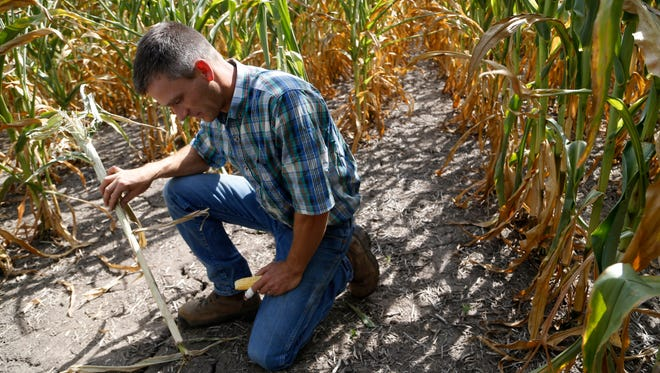 Farmer Colin Johnson sticks a corn stalk into the cracks in the ground around his crops Wednesday, Aug. 9, 2017, on his farmland near Agency, Iowa. Johnson said his corn crops are browning from the bottom up, called firing, because of the lack of rain.