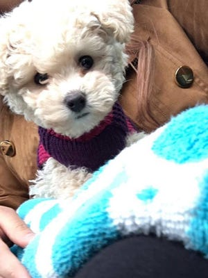 Lawrence police are asking for help after a woman's dog was stolen from a vehicle on the city's northeast side. Coco is a 3-month-old male toy poodle, last seen near Post Road and Pendleton Pike.