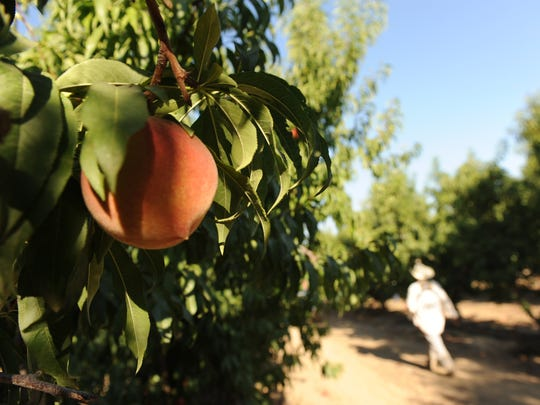 A worker carries a box of peaches while picking fruit in an orchard near Kingsburg, California, in 2015.