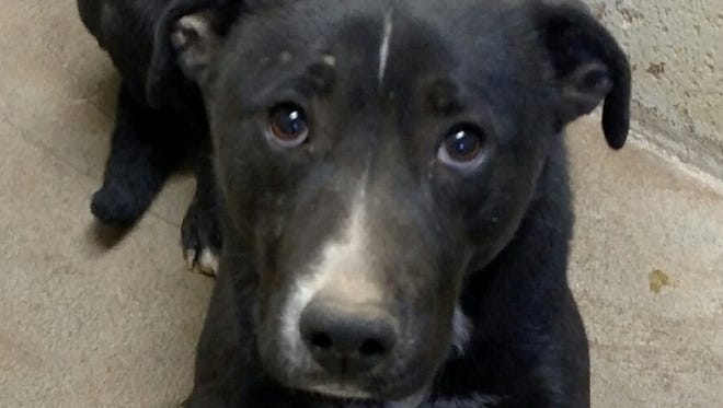 This 1-year-old male black Labrador retriever mix is friendly and seems to get along with other dogs. He was pickup in the 1100 block of Mescalero. For more information about adopting a Pet of the Week or other furry friends, visit Alamogordo Animal Control, 2910 N. Florida Ave., Monday through Saturday between noon and 5 p.m. or contact them at 439-4330.