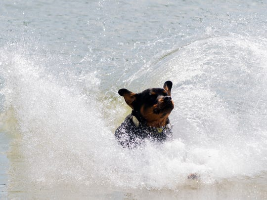 Bray, a rottweiler, leaps into the water during the Smoky Mountain Dock Dogs show at the 2018 Bike Boat Brew & Bark at Vol Landing in Knoxville, Tennessee on Saturday, June 2, 2018. The event featured a dog jumping competition, boat races as well as beer.