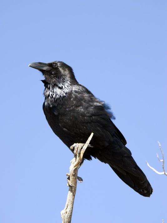 Coachella Valley Raven