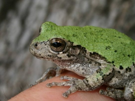 A southern grey tree frog sits atop a finger in this