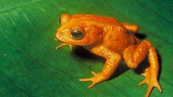 Golden Toad of Monteverde (photo credit: http://www.bagheera.com/)