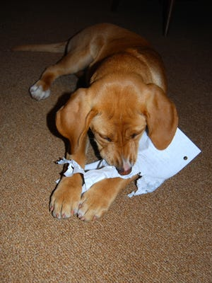 Author Shirley Salemy Meyer's puppy chews on her daughter's social-studies homework that she left on a low table. Important papers should be moved out of reach of puppies.