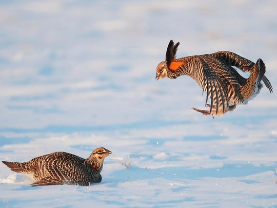 A pair of prairie chickens cavort in the snow-covered fields of Carl Flaig's farm near Rudolph, Wis. Thursday, April 5, 2018. Flaig has dairy and beef cows that graze on his 350-acre farm, a practice that has helped create better habitat for prairie chickens, a member of the grouse family.