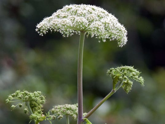 Image result for giant hogweed