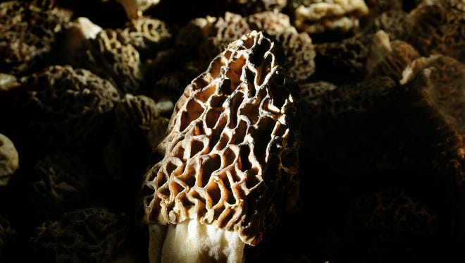 A favorite Michigan spring activity -- scouring the forest floor for morel mushrooms -- is about to begin.