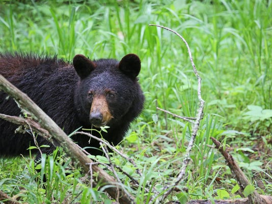 webart Black Bear trees