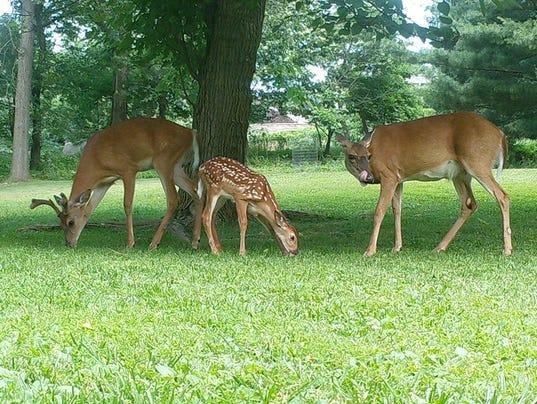 636475604069343602-4-Deer-Family-Mulberries.jpg